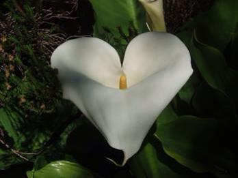 Arum coeur
